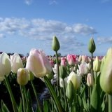 Picture tulips on fields